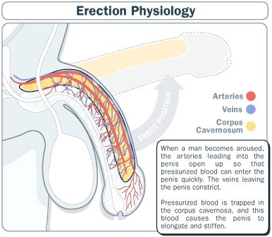 erection-physiology