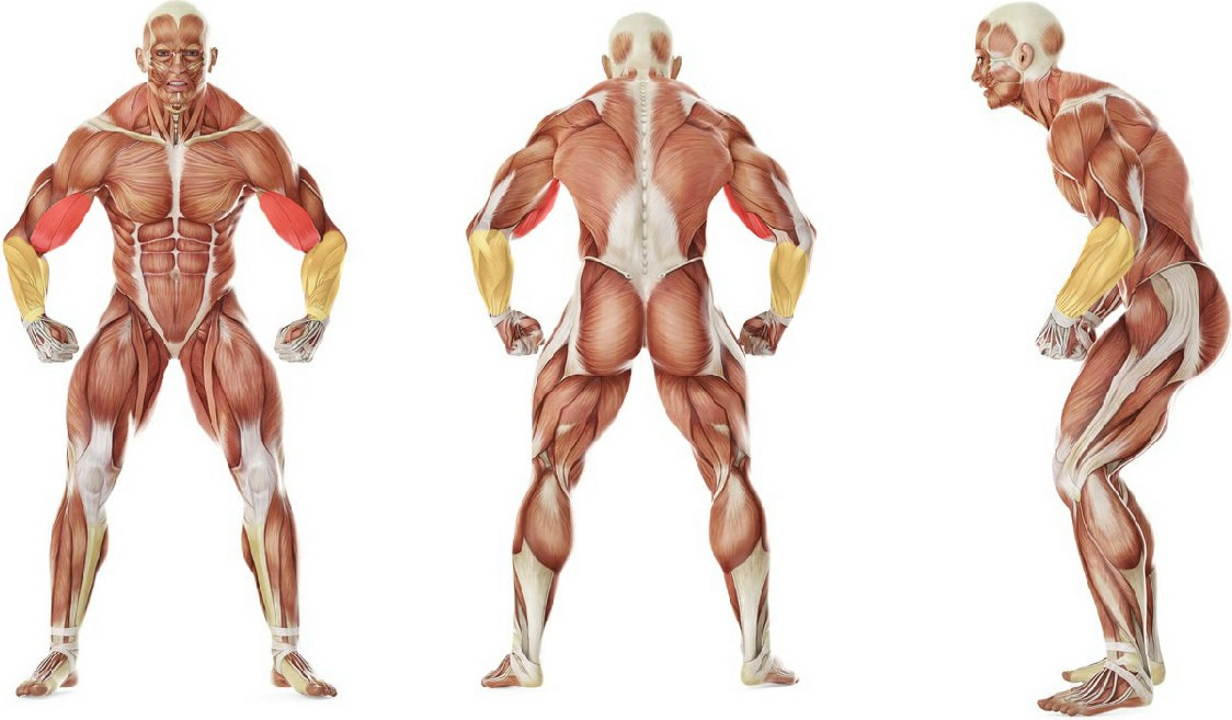 What muscles work in the exercise Barbell Curl
