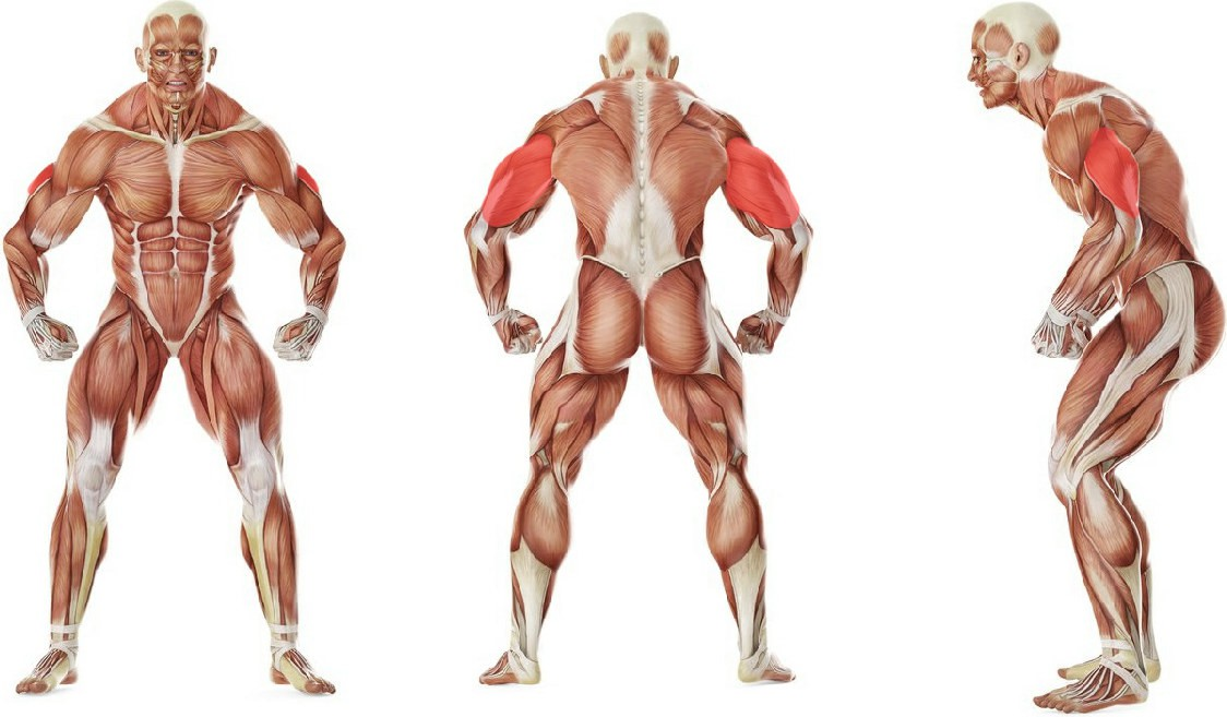 What muscles work in the exercise Seated Bent-Over One-Arm Dumbbell Triceps Extension