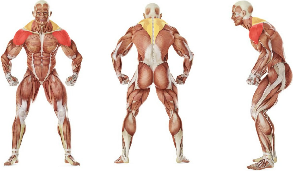 What muscles work in the exercise Cable Seated Lateral Raise